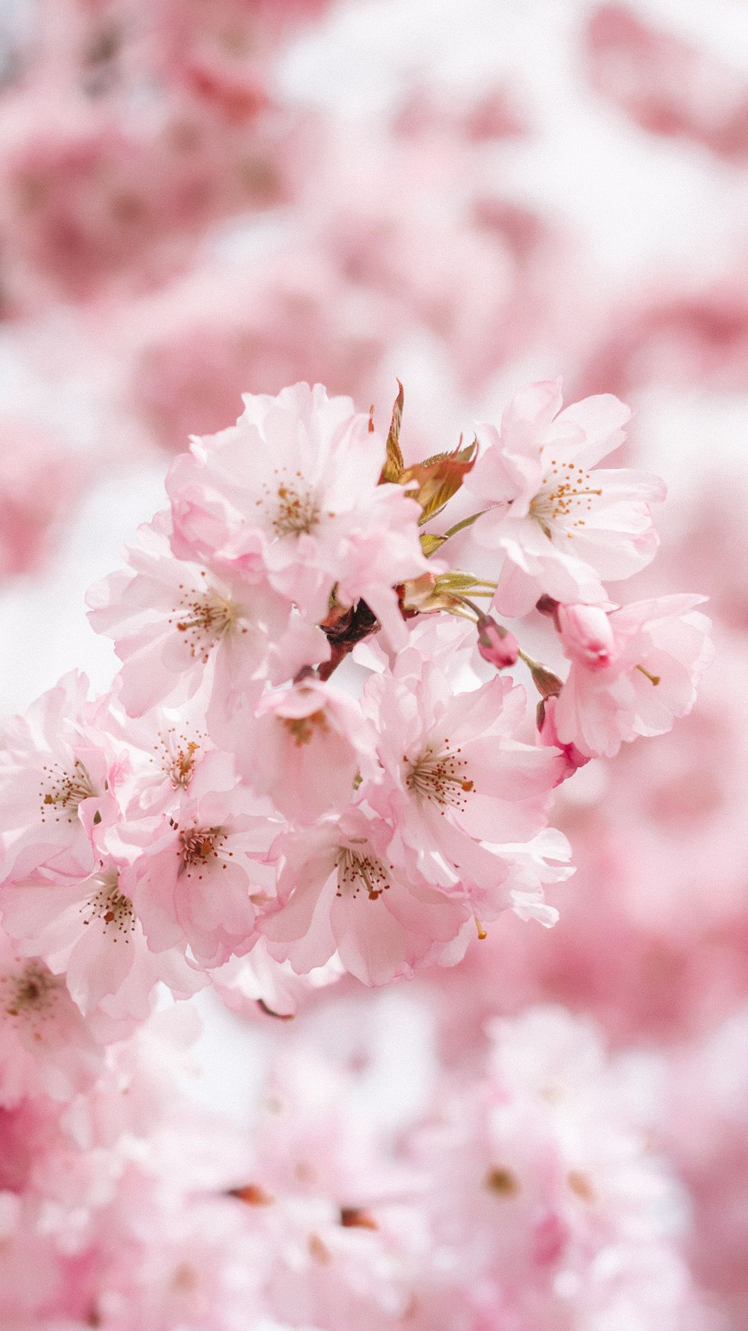 64e647b0af A cherry blossom wallpaper you can use to brighten up your phone ...