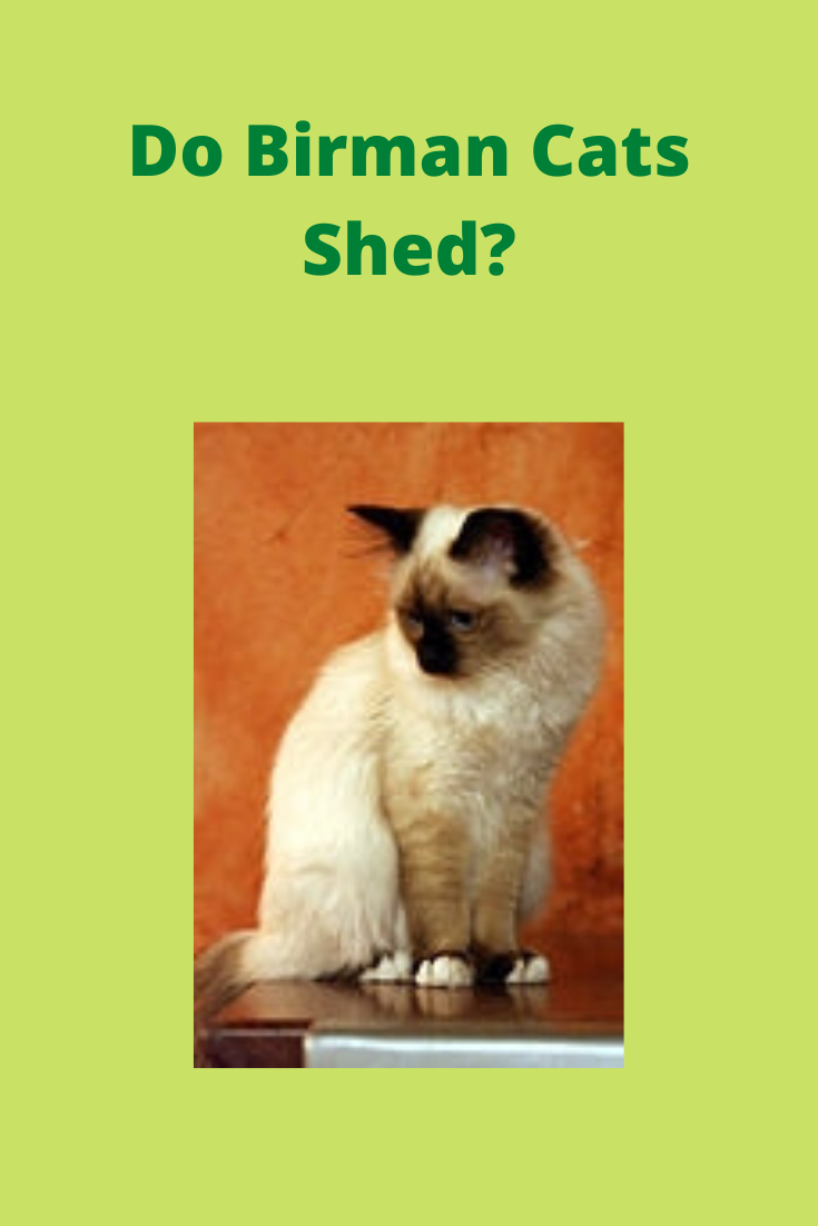Do Birman Cats Shed? How to Reduce Cat Hair and Dander en