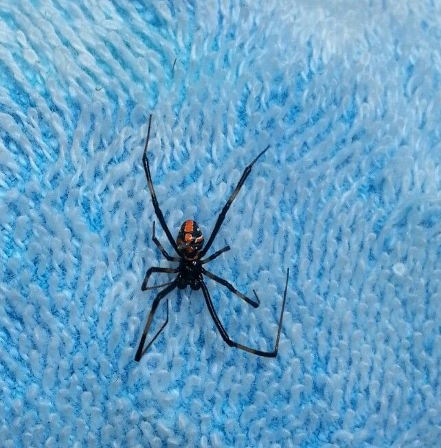 Juvenile black widow spider- found this on my beach towel the other day, it didn't exactly look like a black widow but I knew the bright colors would be something possibly poisonous..turns out this is what black widows look like as teens!!