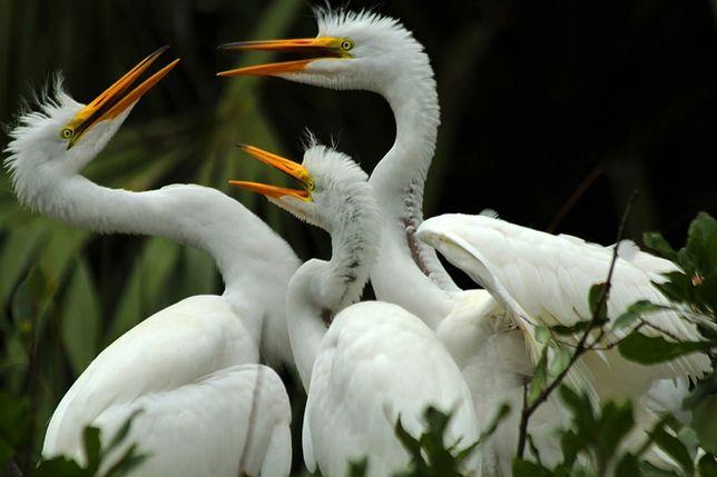 Three egret fledglings get into a spat