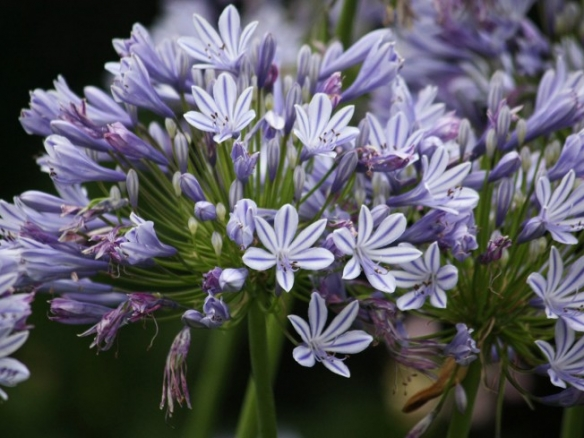 Agapanthus Lily Of The Nile In 2020 South African Flowers African Flowers Agapanthus