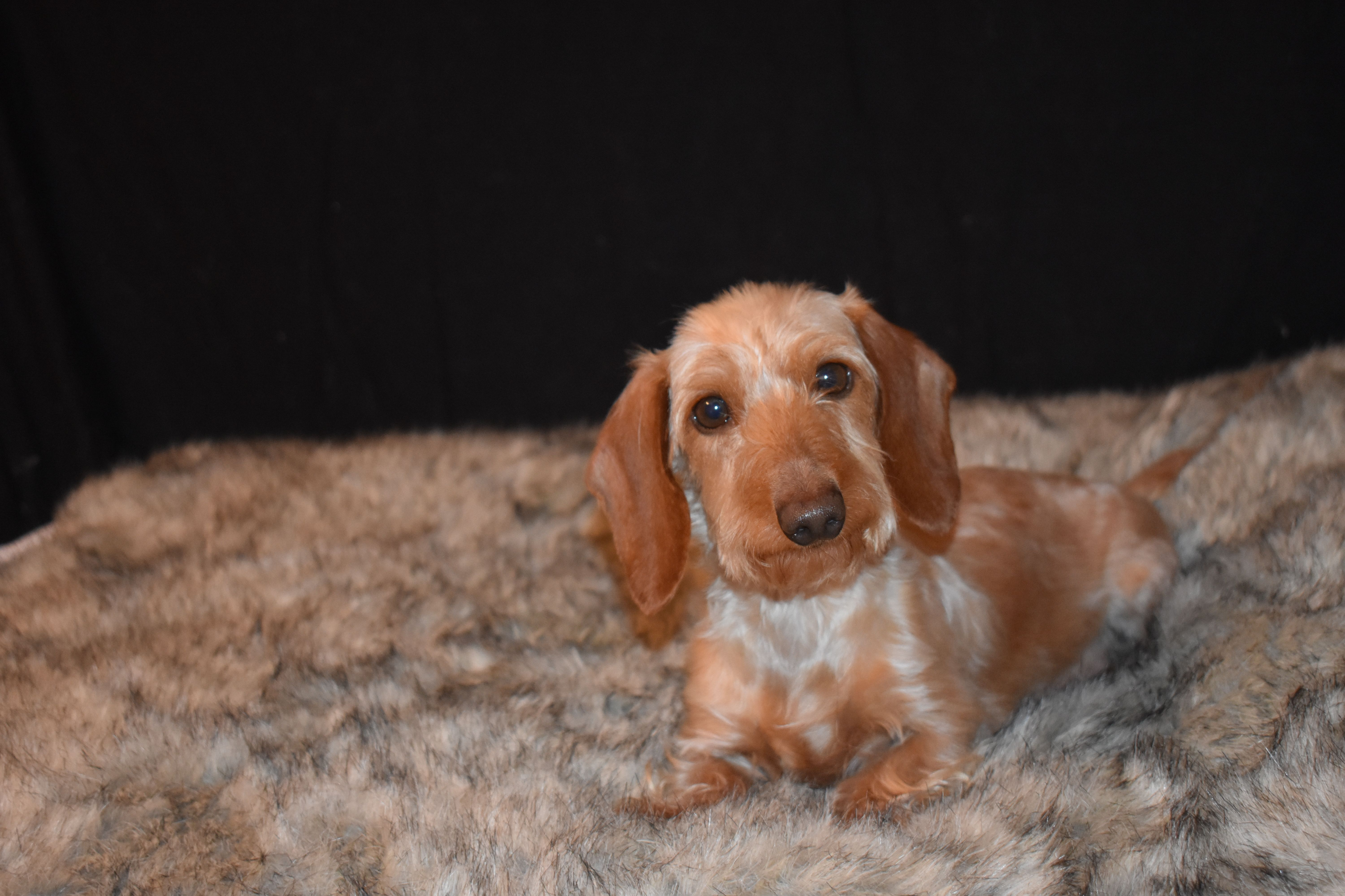 Wheaten Wirehair Miniature Dachshund Pricilla Found At Select Dachshunds In Waskom Te Miniature Dachshunds Miniature Dachshund Miniature Dachshund For Sale