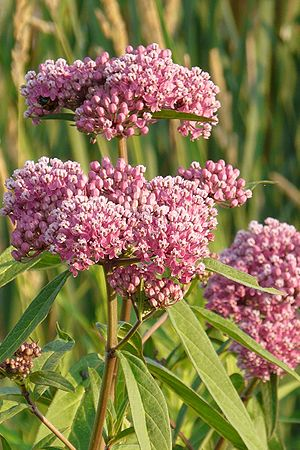 Asclepias incarnata (Red Milkweed) : Prairie Nursery Native Plants, Buy Native Plants | Native Seeds | No Mow Lawn | Native Landscape Consulting