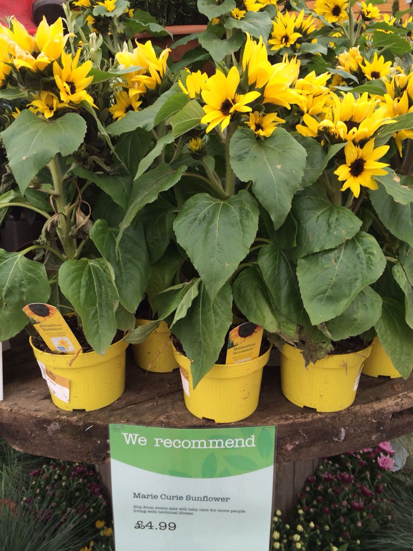 Ronny is telling you:'Sunflower Sensation at Wvevale Garden Centre. May 2015.'