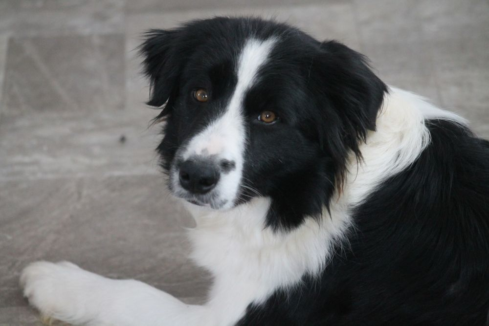 Adult Border Collies For Sale In Ontario Hollowshot Border Border