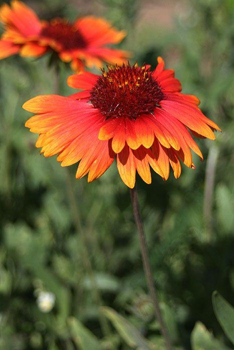 native alberta blanketflower