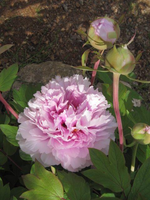 la peonia pocos cuidados y cada año me sorprende con sus bellas flores