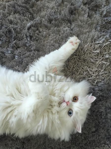 Cats 2 Turkish Angora Persian Mix Cats Seek Loving Home Turkish Angora Cat Turkish Angora Angora Cats
