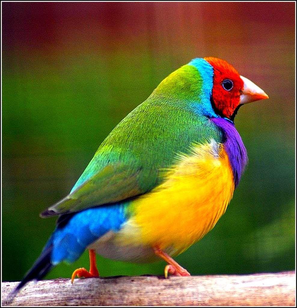Les Oiseaux Diamant De Gould Balades Comtoises Passerine Bird Bird Lovers