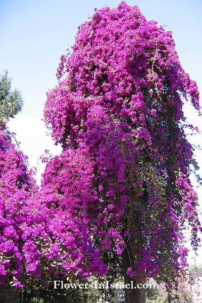 Bougainvillea glabra paper flowerlesser bougainvillea bougainvillea glabra paper flowerlesser bougainvillea mightylinksfo