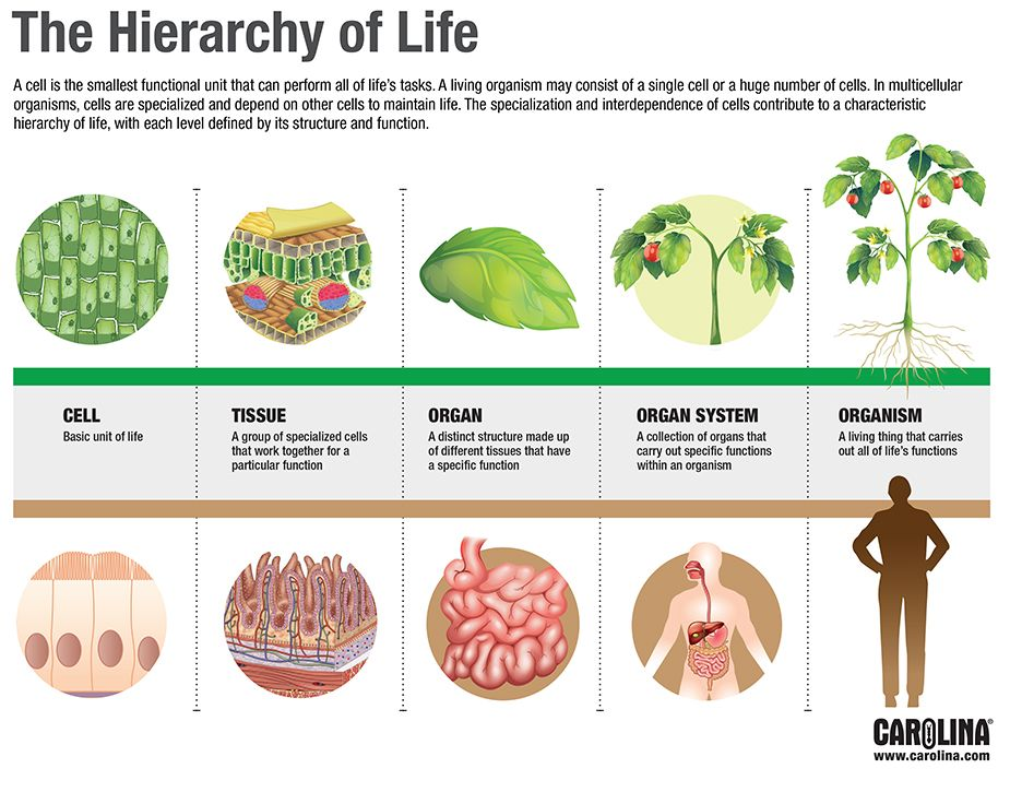 Infographic The Hierarchy Of Life Plant And Animal Cells Structural Biology Biology Lessons
