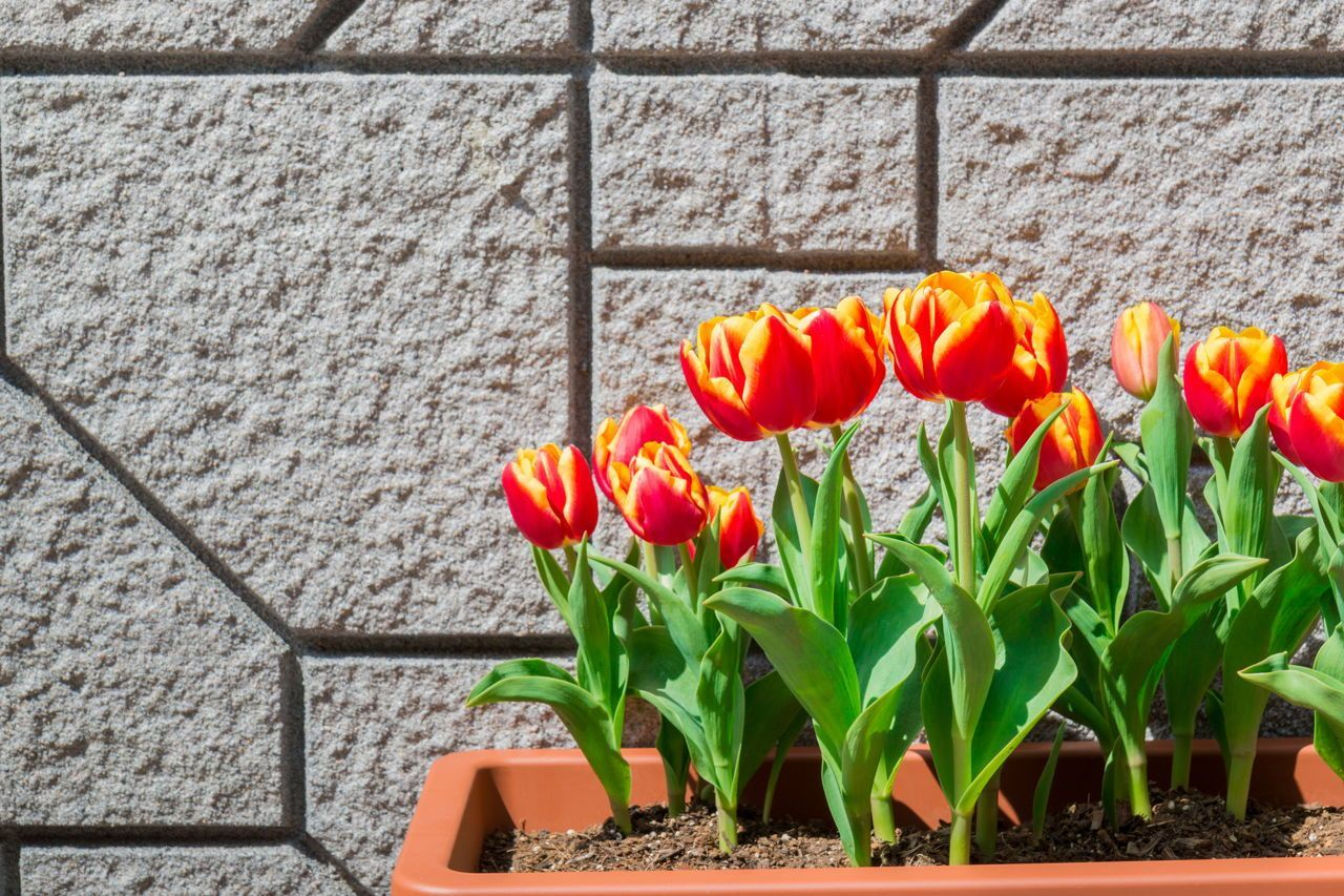 How To Care For Tulip Bulbs After Bloom When To Plant Tulips Planting Tulip Bulbs Planting Bulbs