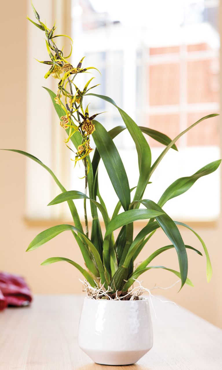 Did you know Brassia is also called the Dancing Lady in South-America?