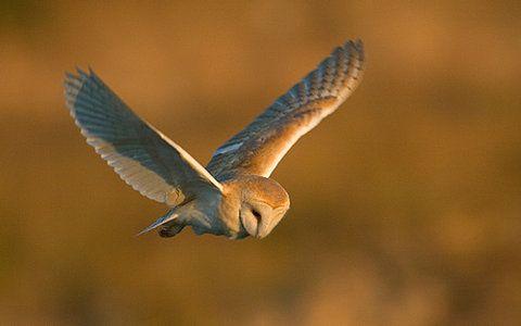 Barn Owl - 030 on Flickr - Photo Sharing!