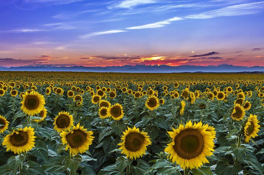 Mountain Sunset Over Sunflower Fields By Teri Virbickis Sunflower Fields Mountain Sunset Sunset