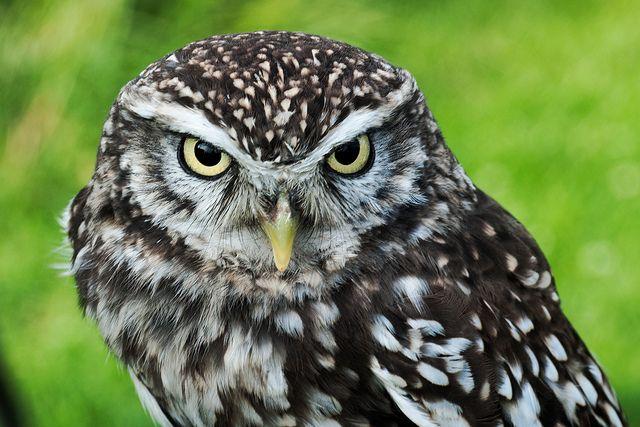 Little Owl (Bobby) | Owl
