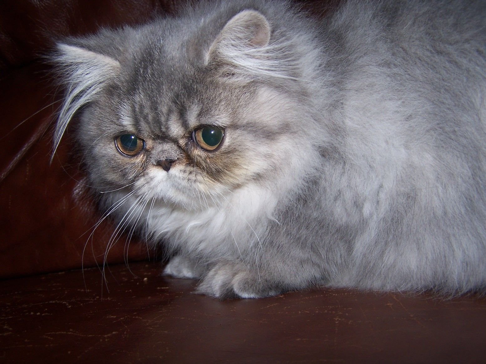 A Persian Blue Cream Tabby Cat That Is By Mother Tabatha And Father Crispy Creams She Was Born Feb 24th The Blue Cream Girl Is Beautiful Cats Cats Tabby Cat