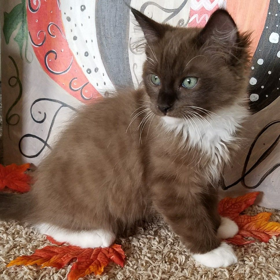 Chocolate Ragdoll Kitten Named Baby Boy Blue Cute Puppies And Kittens Ragdoll Kitten Ragdoll Cat