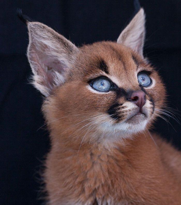 Der Karakal ist ein wunderschönes Geschöpf Katzenarten