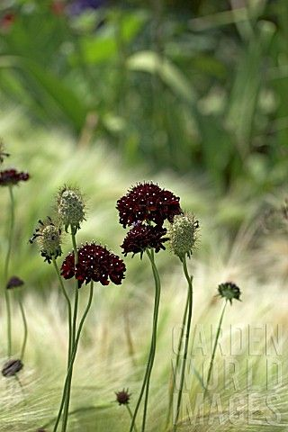 Scabiosa atropurpurea 'Chile Black' and 'Hordeum jubatum' Foxtail Barley.