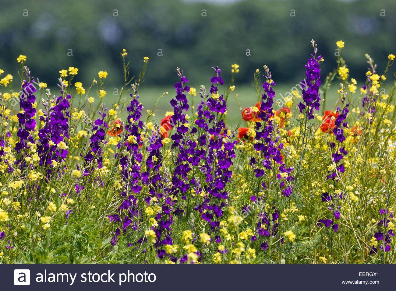 Doubtful Knight S Spur Larkspur Annual Delphinium Consolida Ajacis Delphinium Ajacis Flowering Meadow With Consolida Ambigua Delphinium Larkspur Meadow