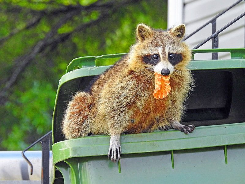 How to Get Rid of Raccoons in Your Garden Humanely in 2020 ...