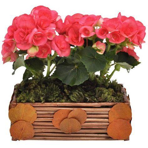 Como Cuidar De Uma Begonia 10 Passos Begonias Flor Begonia E