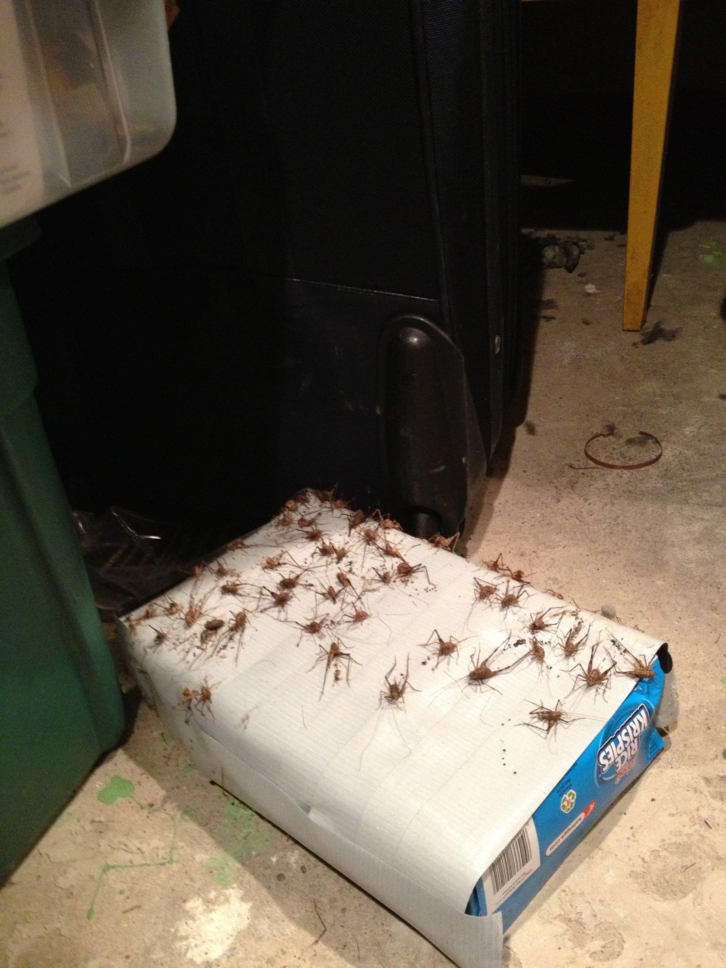 Bed Bug Sticky Tape
