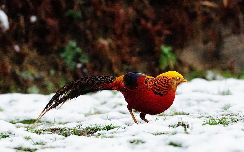 Beautiful Golden Pheasant Bird Background Hd Wallpapers