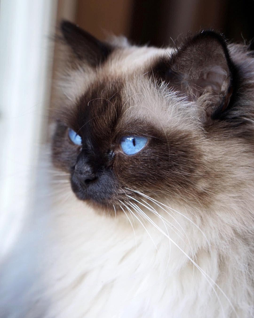 New Year New Floff Beautiful Cats Fluffy Cat Birman Cat