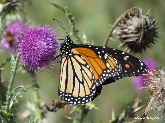 Magnificent-Monarch-on-Bull-Thistle-Wolfe-Lake