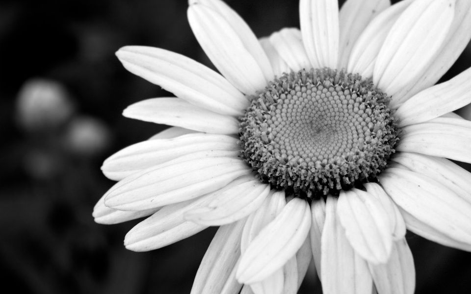 Black And White Flower Wallpaper Backgrounds For Desktop White