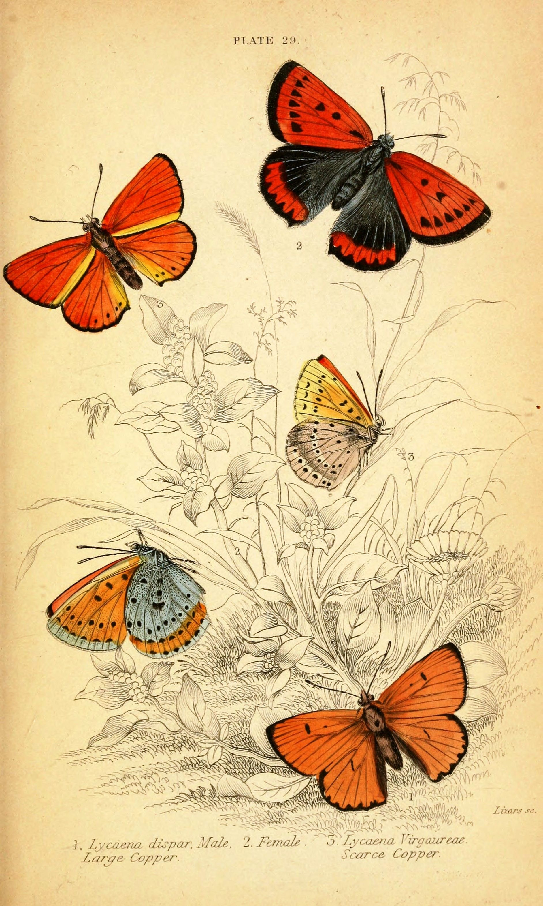 free vintage graphics to print | Vintage butterfly prints. Natural ...