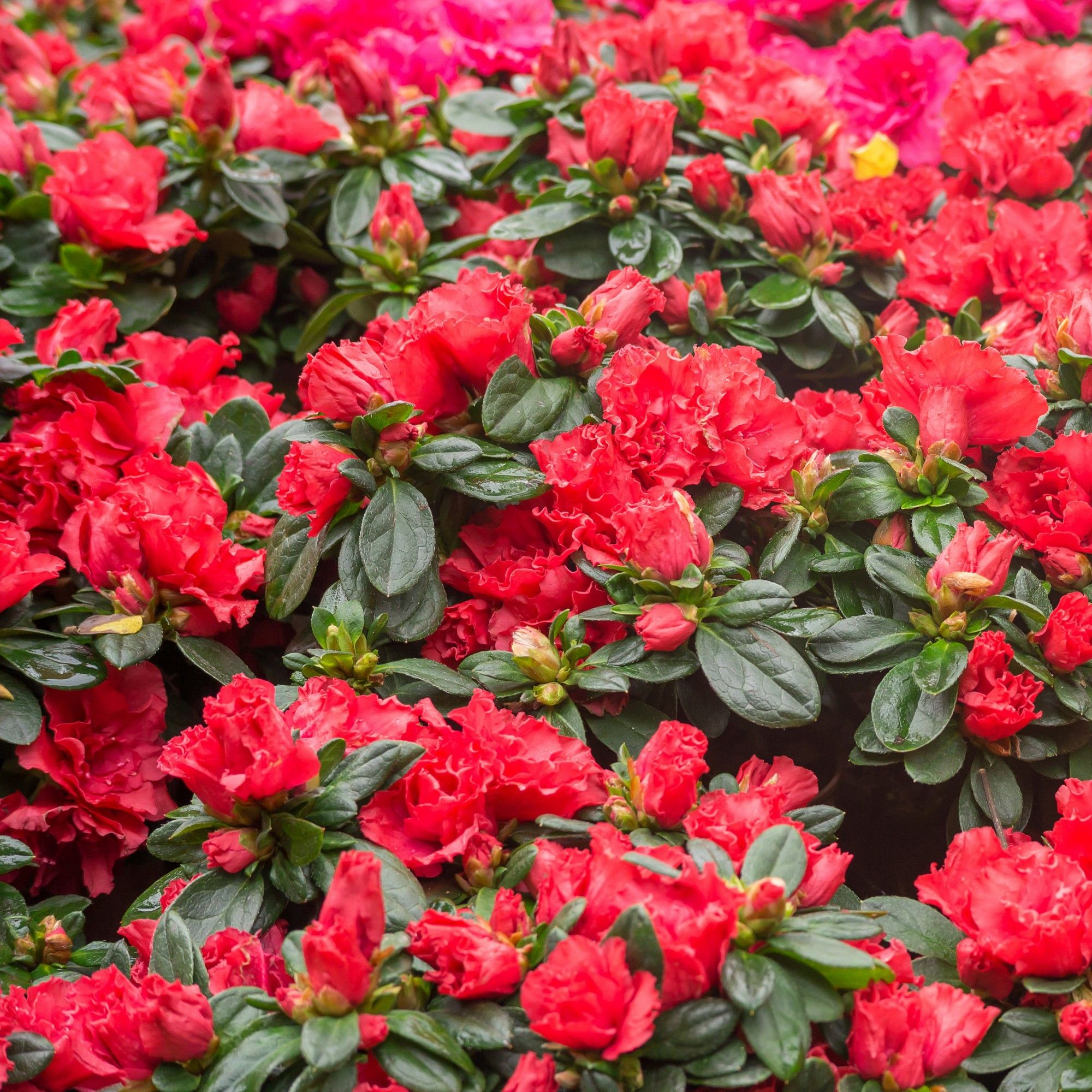 Encore Azalea Autumn Bonfire 3gal U S D A Hardiness Zones 6 10 1pc National Plant Network Small Garden Containers Flower Pots Garden Shrubs