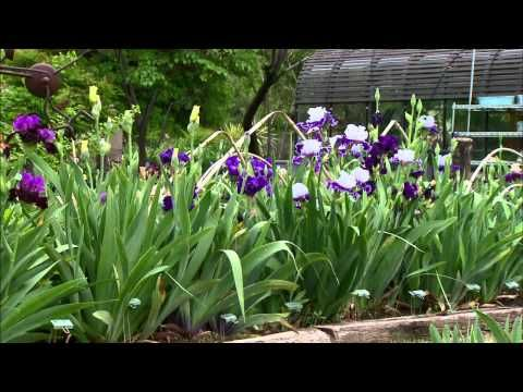 How To Divide And Re Plant Irises Youtube Garden Plants Shrubs