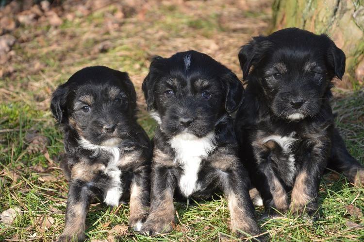 bezaubernde Tibet Terrier Welpen Tibet terrier welpe