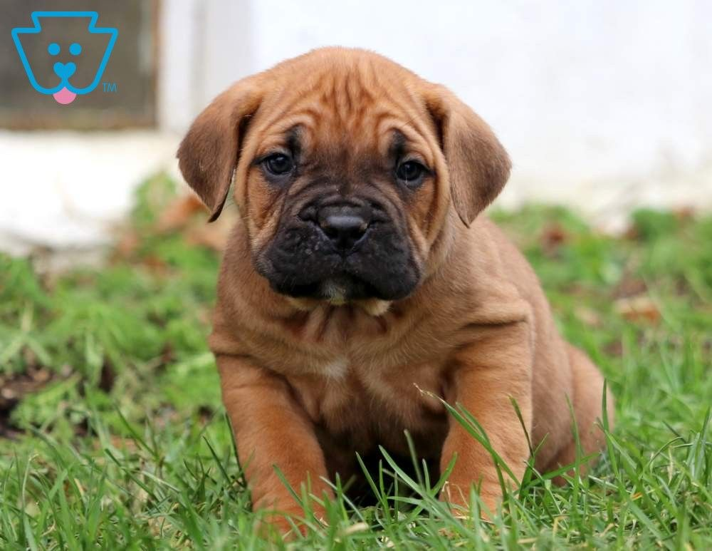 Dezzy Cane Corso Puppy For Sale Keystone Puppies Cane Corso Puppies Puppies For Sale Puppies