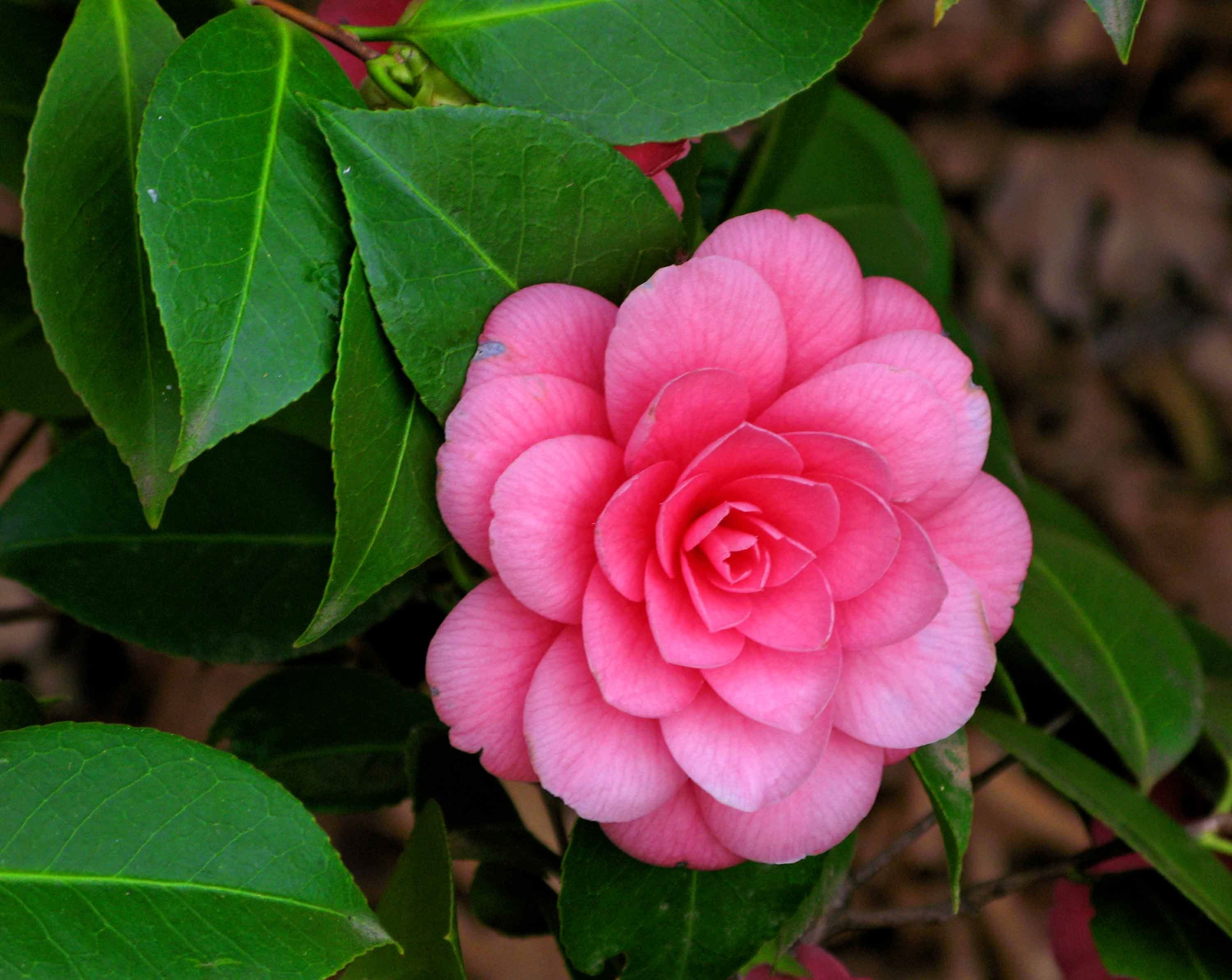 Camellia flower is a broadleaf woody plant native to South
