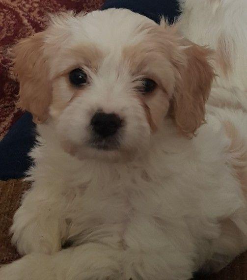 Stunning F1 Cavachon Puppy For Sale Warrington Cheshire Pets4homes Cavachon Cavachon Puppies Puppies For Sale