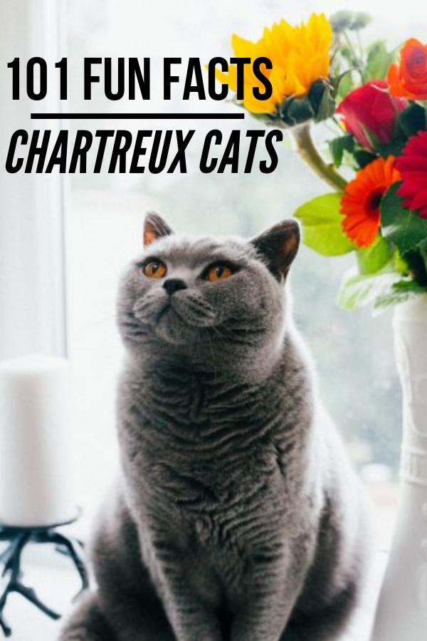 Chartreux Cat 101 Fun Facts, Pictures, Price