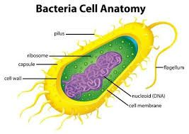 Image Result For Labelled Diagram Of Bacteria With Images Cell Parts And Functions Cell Parts Microbiology