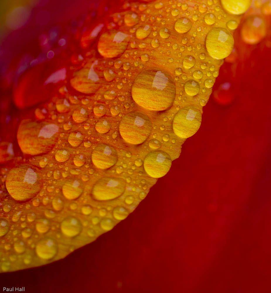 120429-tulip-dewdrops-medium.jpg (925×1000)
