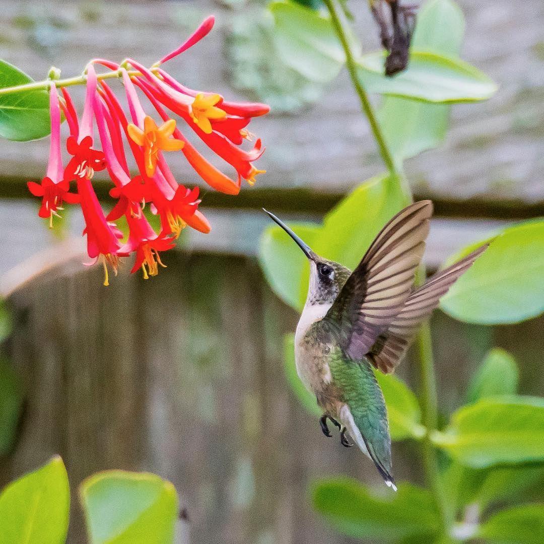 Pin on Hummingbirds