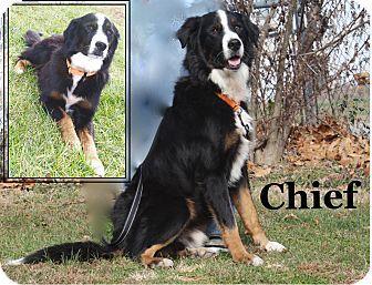 Cuba Mo Bernese Mountain Dog Mix Meet Chief A Dog For