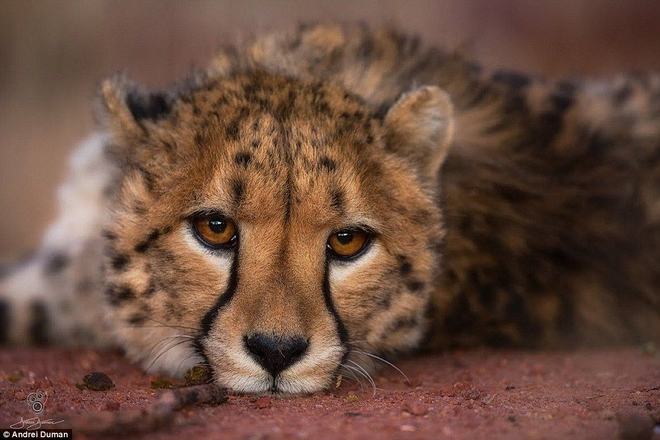 Wild and hypnotic: A cheetah cub with dazzling eyes,  looks dosily into the lens. by Andreï Duman