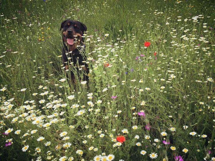 #Rottweiler in a meadow