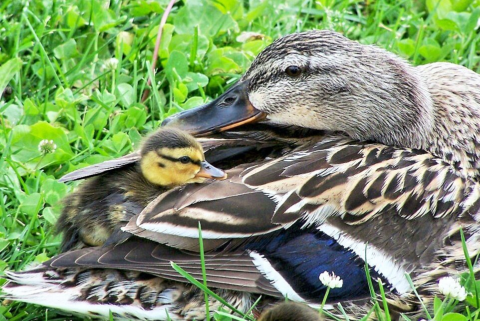 Brittingham Park, Madison, Wisconsin. love ducks ) and
