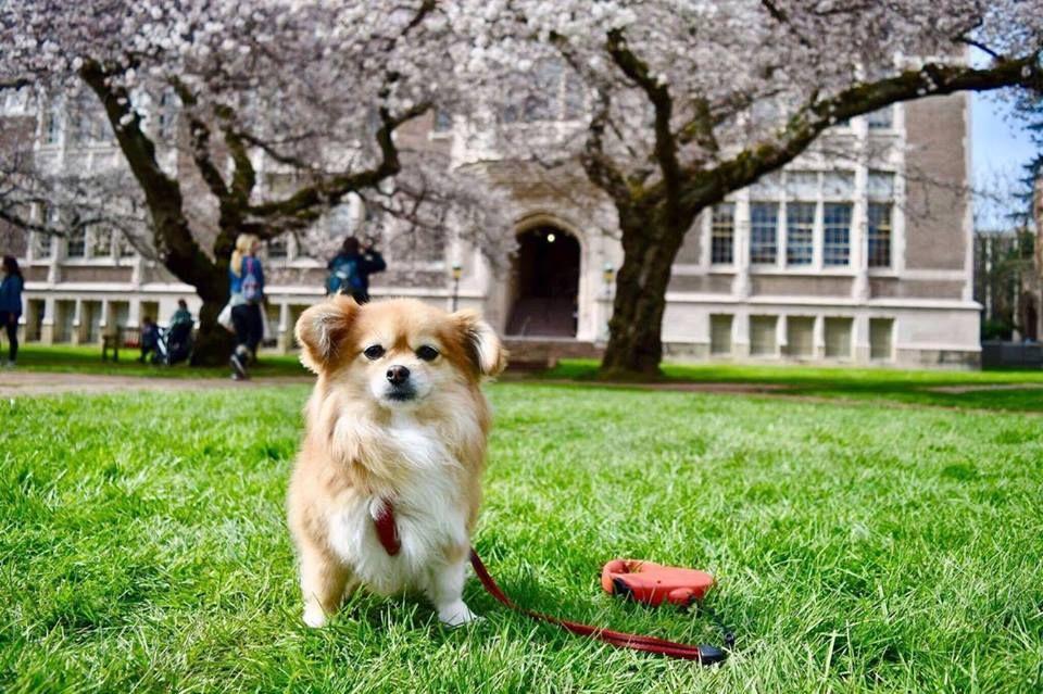 Corgi By University Of Washington On Top Dawgs Animals Dogs