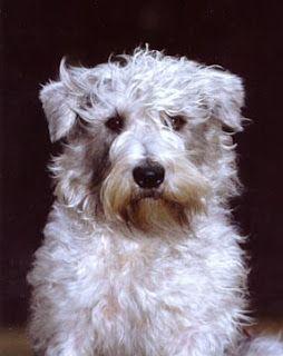 Glen Of Imaal Terrier Glen Of Imaal Terrier Irish Dog Breeds Irish Dog