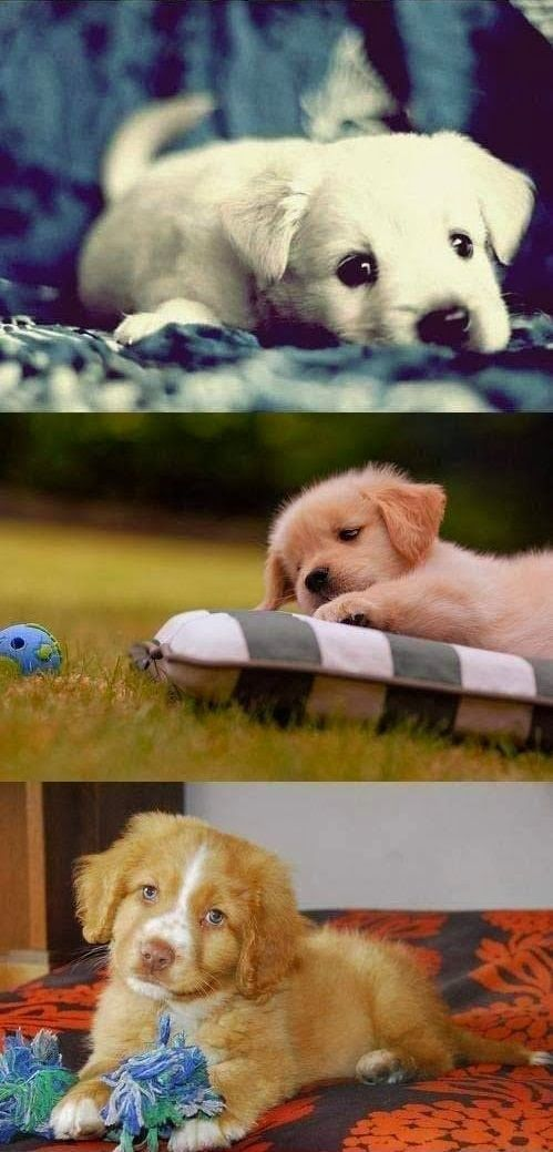 10 most liked and repined puppies on Pinterest ~ The Pet's Planet